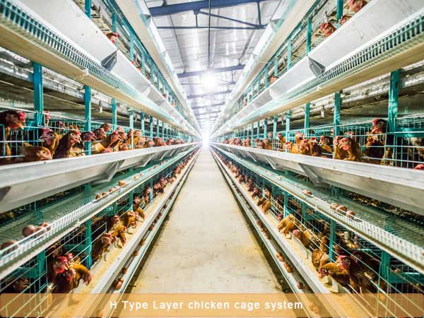 Layer chicken cage system